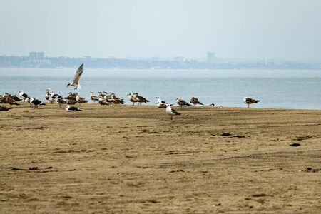 a colony of seagulls on sandy beach with tern crying out at them