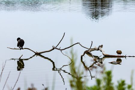 cormarant and duck perched on dry branch with reflections in water early morning Stock fotó