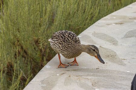 female mallard duck looking for food on top of a wall