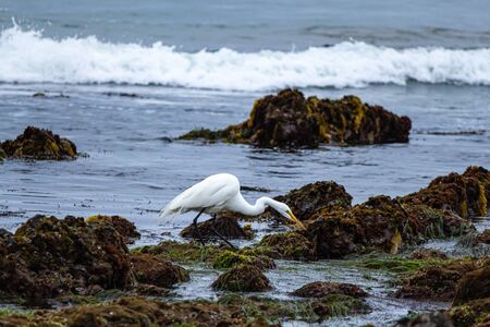 great white egret standing in tide pools on seashore