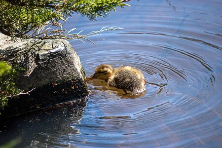 baby duckling chick swimming in fresh water in washington state in spring Banco de Imagens