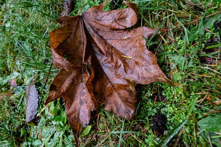 wet maple leaf lying on the grass with pine needles