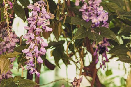 a closeup of wisteria bloom cluster hanging from vine
