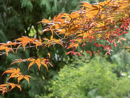 golden red japanese maple tree with seed pods hanging in springtime