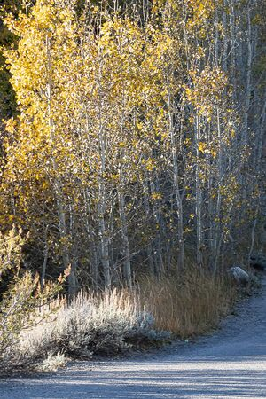 aspen lined road through camp ground in early morning light