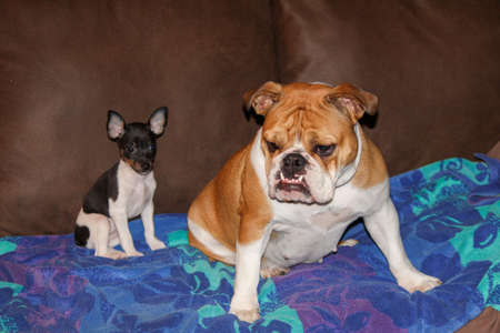 rat terrier and bulldog sitting on a sofa