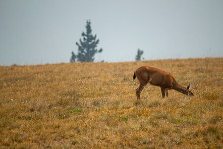 young female deer grazing and resting in meadow and wildflowers on top of washington mountain meadow