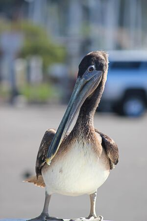 pelican standing alone near shore in parking lot in summer