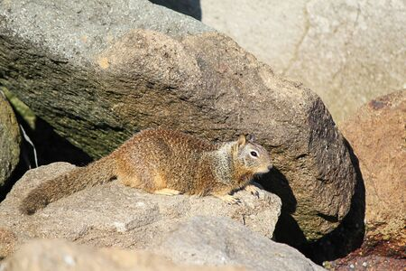ground squirrel on rocks near shoreline in california Imagens
