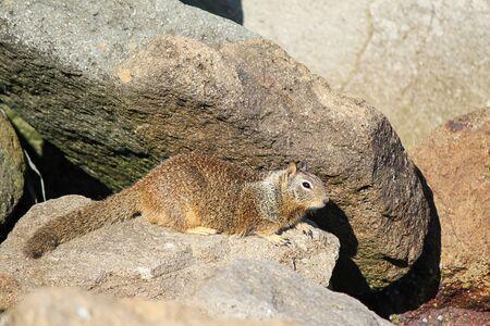 ground squirrel on rocks near shoreline in california 免版税图像