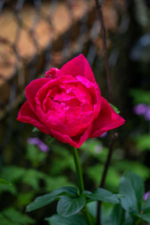 a deep pink rose in full bloom in a garden
