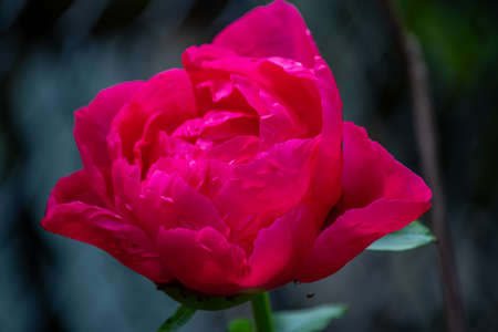 a deep pink rose in full bloom in a garden Zdjęcie Seryjne