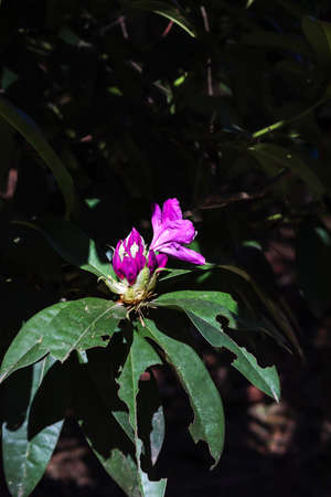 early purple blooms of a rhododendron in spring Zdjęcie Seryjne