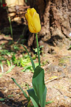 a singular yellow tulip blooming in garden in spring Zdjęcie Seryjne
