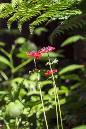three bright red blooms in overgrown garden