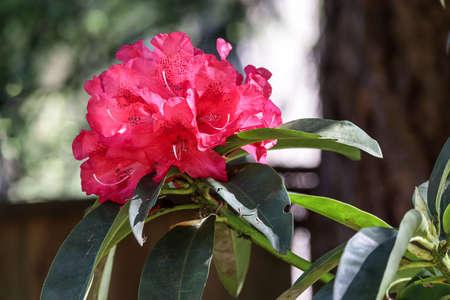 bright red rhododendron flowers with a blurred background Zdjęcie Seryjne