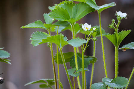 small white strawberry blossoms in late spring, early summer