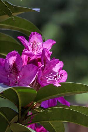 a group of magenta flowers on a bush Zdjęcie Seryjne