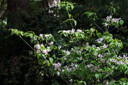 delicate pink flowers on thin dogwood branches