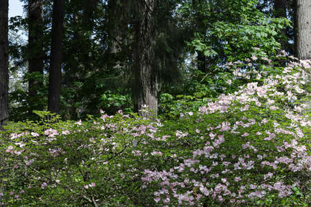 light pink dogwood trees with many blooms