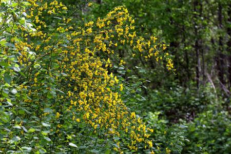 bush branches weighed down by yellow wild flowers Zdjęcie Seryjne