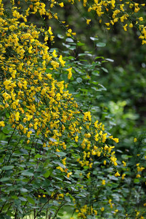 bright yellow wild flowers on hanging branches