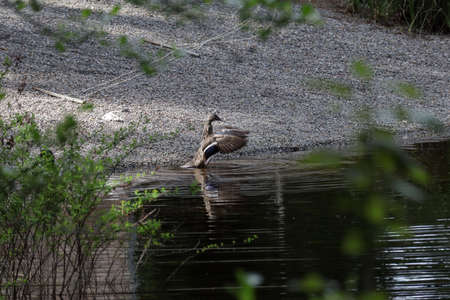 a malard duck at the edge of a pond flapping its wings
