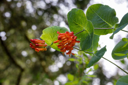 two groups of blooming honeysuckle buds on blurred background