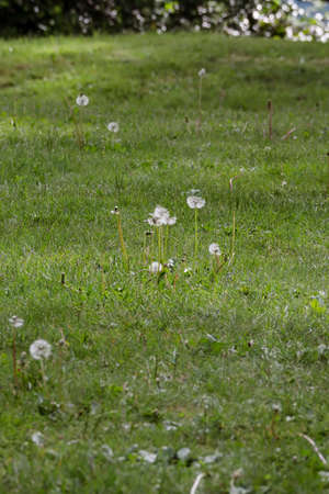 dandelions going to seed in a large lawn Zdjęcie Seryjne