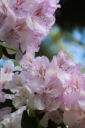 Pale white and pink rhododendron growing during daytime Zdjęcie Seryjne