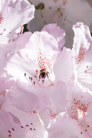Pale white and pink rhododendron growing with bee looking for pollen