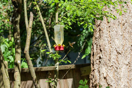 small flying hummingbird with orange chest drinks from feeder