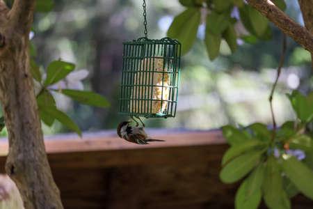 small bird with black head hangs from bird feeder upside down