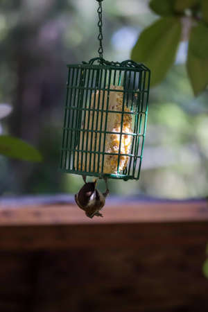 small bird with black head hangs from bird feeder in garden in washington