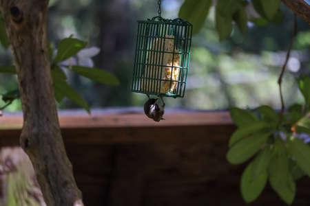 small bird with black head hangs from bird feeder