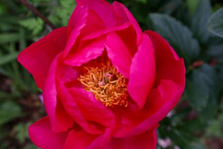 bright pink peony growing in garden area Zdjęcie Seryjne