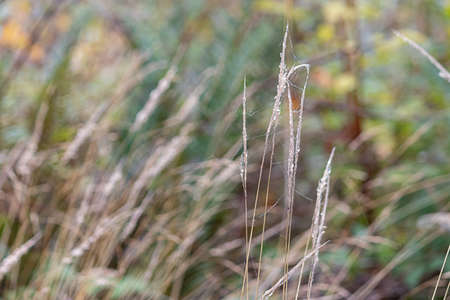 tall grasses growing in fall with spiderwebs on them Zdjęcie Seryjne