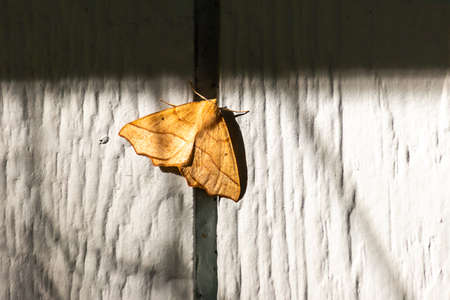 large yellow moth resting on wall of home