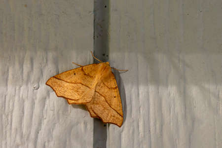 large yellow moth resting on wall of home Zdjęcie Seryjne - 157056667