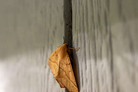 large yellow moth resting on wall of home Zdjęcie Seryjne - 157056833
