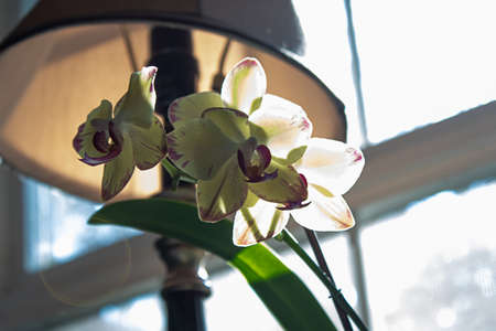 orchid blooming in home setting in window near lamp