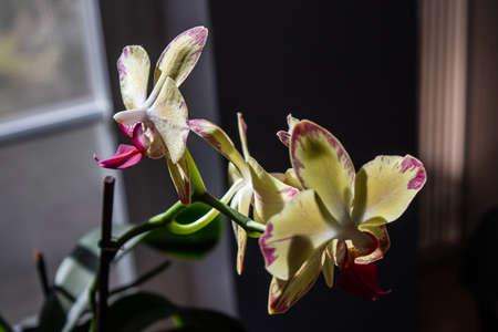 bright orchid blooming in dark home setting Zdjęcie Seryjne