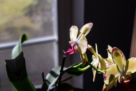 orchid blooming in home setting in the dark Zdjęcie Seryjne