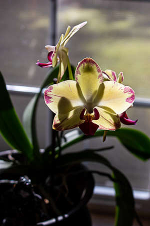 bright yellow orchid near evening window light
