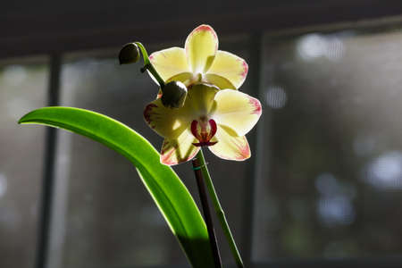 yellow and red orchid brightly glowing in sun beam