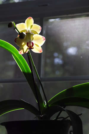 a glowing orchid plant blooming in window