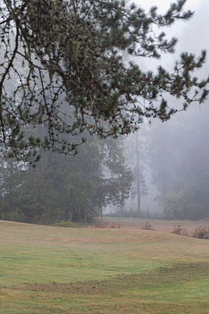 pine trees forested park on a thick foggy morning