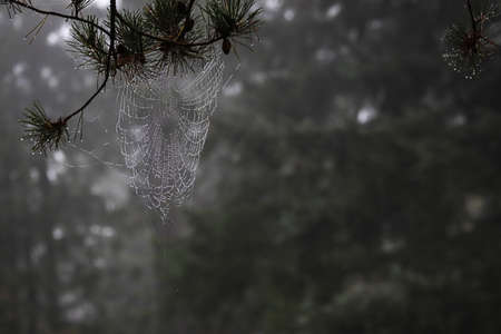 spiders web covered in morning dew on a foggy morning