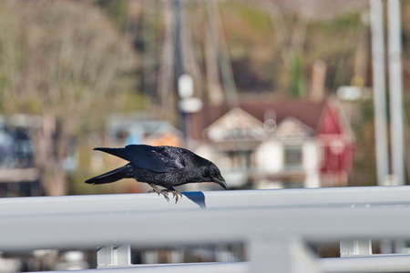 A crow perched on a rail of a marina pier