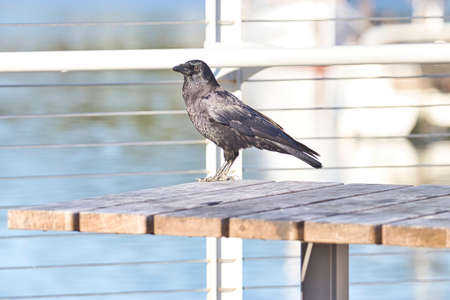crow perched on a pier over the water